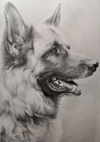 German Shepherd Drawing by Correlation