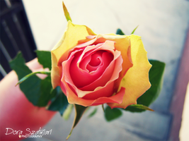Pink-Yellow Rose by szdora91
