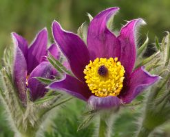 Pasque flower I by starykocur