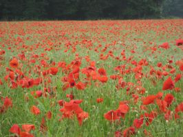 Coquelicot by Jlpicard
