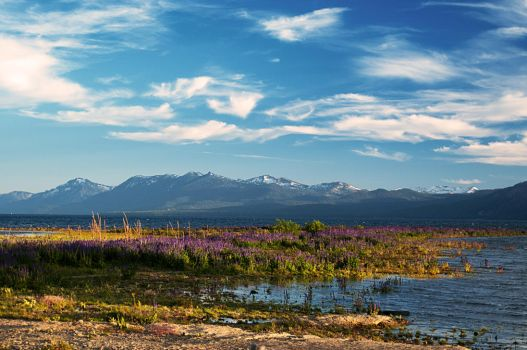 Lupine Bloom on the Lake by mistakeablyme