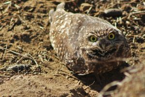Burrowing Owl by snoboarderEm
