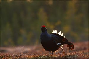 Black Grouse 5 by Starfall00
