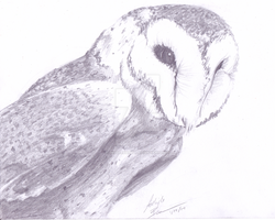 Barn Owl Sketch by PitterPaint