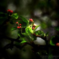 Apple Blossom by firepaved