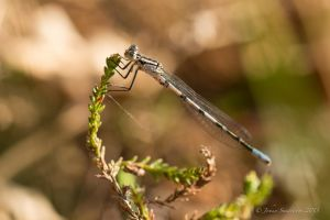 Let the damselfly season begin by photojrs