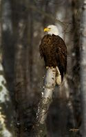 North Shore Eagle by DGAnder
