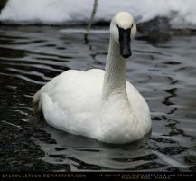 Trumpeter Swan 2 by SalsolaStock