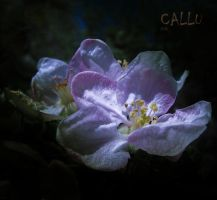 Sugar Light by Callu