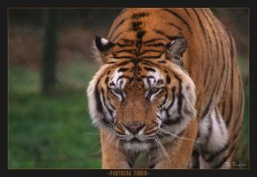 Panthera Tigris by FearDesign