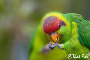 Lunch for the Lorikeet by that-fox