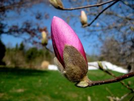 Magnolia Bursting to Bloom by GlassHouse-1