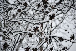 Snow on the pecan tree by cmbfoster1978