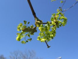 Maple flowers 05 by CotyStock