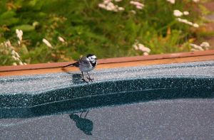 White Wagtail 2 by ragnaice