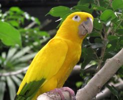 Golden Conure by X5-442
