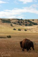 Bison In The Wind by ThisWomanWanders
