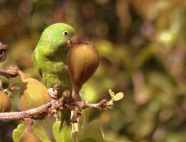 Yellow-chevroned Parakeet by BrunoDidi