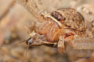 Huntsman spider by melvynyeo