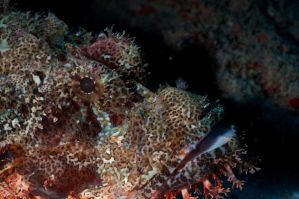 Scorpion Fish Portrait by leighd