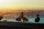lakeside ducks by TrishaMonsterr