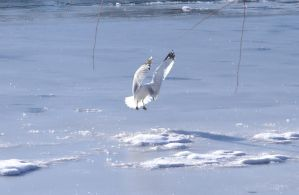 Seagull, Landing on the Frozen River. by wagn18