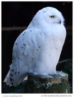 Wintery Snowy Owl by In-the-picture