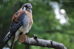 American Kestrel by Chaotic-Chelly