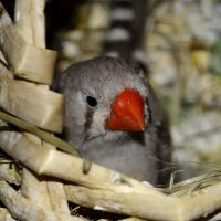 Zebra Finch by Roky320