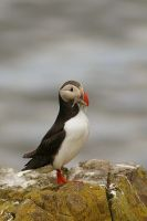 The Puffin Glory by lucythegreat