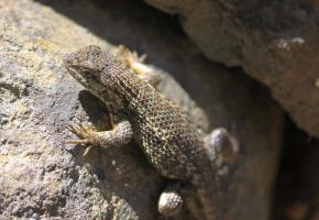 Well Blended Fence Lizard by Caloxort