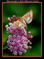 Hummingbird Moth by boron