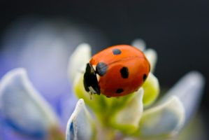 Ladybug2 by J-Dill-Photography