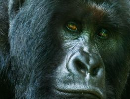 save the mountain gorilla 3 by catman-suha