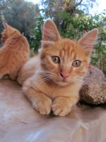 Young red cats 1 by FuriarossaAndMimma