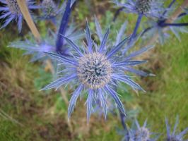 blue thistle by karpoozi