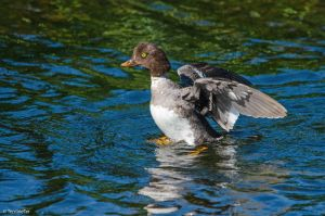 Female Common Goldeneye by TerribleTer