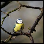 Blue Tit 3 by antiplod