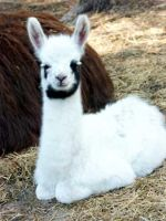 Baby Llama Soooo coot 8D by We-The-Hated