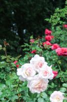 White Roses by mpics-inc-gmbh