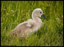 young swan by morho