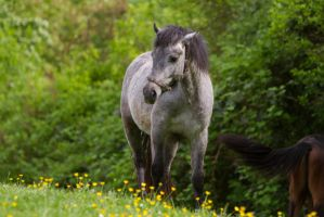 Black Blue Roan Pony Welsh Pasture Stock 1 by LuDa-Stock