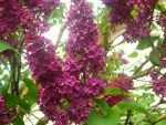 Lovely Lilacs by deoris