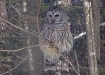 Barred Owl in Winter by silverfang07