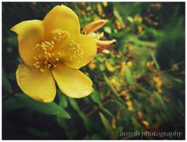 Yellow Flower by amyjls