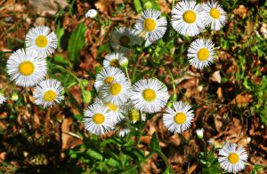 Little Daisies by Calypso1977