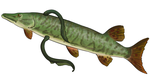 Muskellunge and Silver Lampreys by Parasols