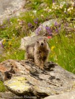 Les Marmot - 1 by Uzeal