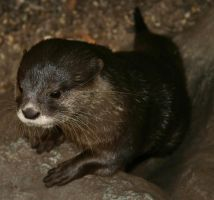 Otter II by Parides