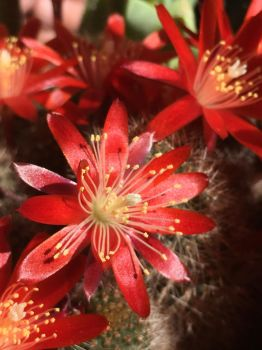 Cactus Flower by ISkippedABeat